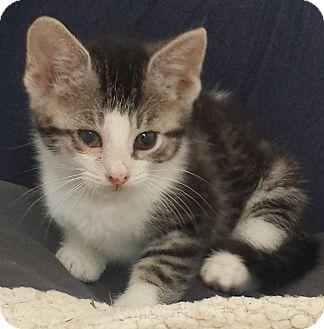 Domestic Shorthair Kitten for adoption in Concord, Ohio - Gray White Tabby 7 wks old