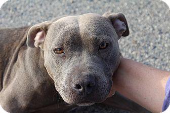 American Pit Bull Terrier Dog for adoption in Crowley Lake, California - Elsa