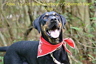 Doberman Pinscher/Plott Hound Mix Dog for adoption in Siler City, North Carolina - Atlas