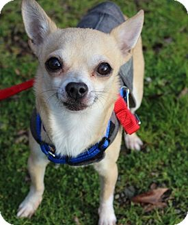 Chihuahua Mix Dog for adoption in Grants Pass, Oregon - Buster