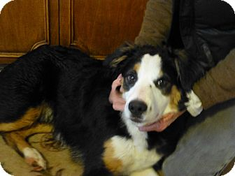 Border Collie/Australian Shepherd Mix Puppy for adoption in Quincy, California - Wallace