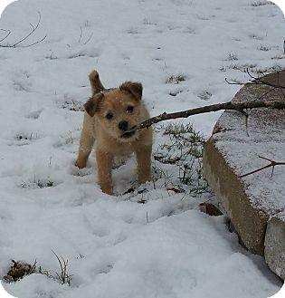 Border Terrier Mix Puppy for adoption in Naperville, Illinois - Finn