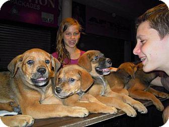 Hound (Unknown Type) Mix Puppy for adoption in Brookeville, Maryland - Delhi Litter