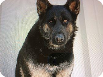 German Shepherd Dog Puppy for adoption in Los Angeles, California - BANDIT VON BARDULF