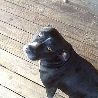Labrador Retriever/American Staffordshire Terrier Mix Dog for adoption in Morriston, Florida - Cinder