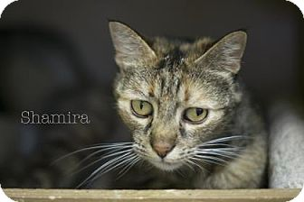 Domestic Shorthair Cat for adoption in West Des Moines, Iowa - Shamira