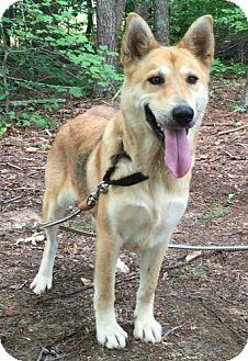 German Shepherd Dog/Husky Mix Dog for adoption in Hagerstown, Maryland - Fancy