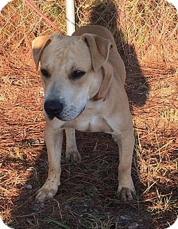 Labrador Retriever Mix Dog for adoption in Sturbridge, Massachusetts - Zeus