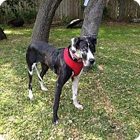Adopt A Pet :: Sophie - Austin, TX