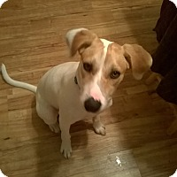 Adopt A Pet :: Chase - East Hartford, CT