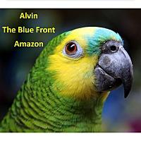 Adopt A Pet :: Alvin The Blue Front Amazon - Vancouver, WA