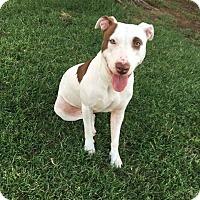 Adopt A Pet :: Lyla - Meridian, ID