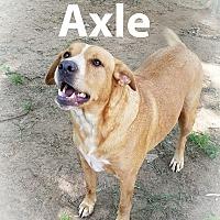 Adopt A Pet :: Axle - Palestine, TX