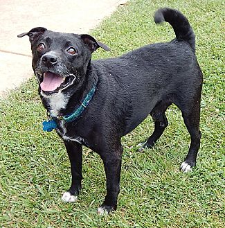 Terrier (Unknown Type, Small)/Basenji Mix Dog for adoption in Williamsport, Maryland - Diesel (25 lb) GREAT Companion