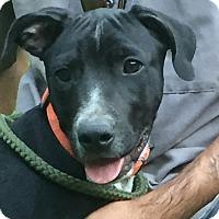 Adopt A Pet :: Dewey - Goodlettsville, TN