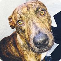 Adopt A Pet :: Brody (432) 889-1712 - Miami, FL