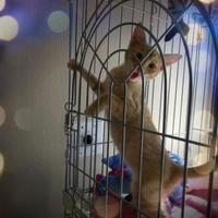 American Shorthair/Domestic Shorthair Mix Cat for adoption in Los Lunas, New Mexico - GRISAM