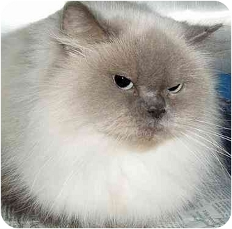 Himalayan Cat for adoption in Montreal and Area, Quebec - Bali