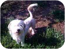 Lhasa Apso Mix Dog for adoption in Cocoa, Florida - Emerson