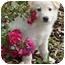 Photo 3 - German Shepherd Dog/Golden Retriever Mix Puppy for adoption in Los Angeles, California - Koko von Kern