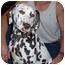 Photo 2 - Dalmatian Dog for adoption in Steger, Illinois - Kobe