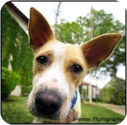 Corgi/Shepherd (Unknown Type) Mix Dog for adoption in Houston, Texas - Jersey