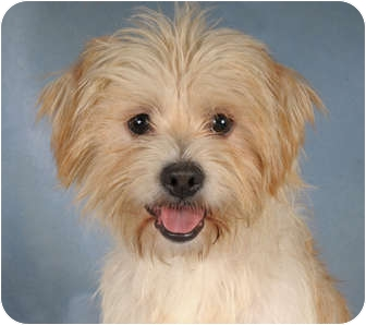 Terrier (Unknown Type, Medium) Mix Dog for adoption in Chicago, Illinois - Toto