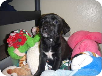 Pit Bull Terrier/Labrador Retriever Mix Puppy for adoption in Barron, Wisconsin - Cuba