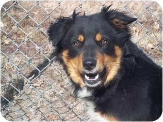 Australian Shepherd Mix Dog for adoption in Sterling, Colorado - Jenna