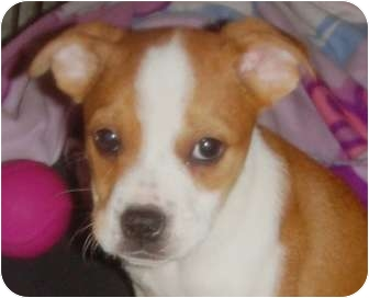 Boxer Mix Puppy for adoption in Turnersville, New Jersey - Hercules