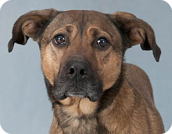 Shepherd (Unknown Type) Mix Dog for adoption in Chicago, Illinois - Buster Brown