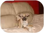 Boxer Mix Puppy for adoption in Wauseon, Ohio - Max
