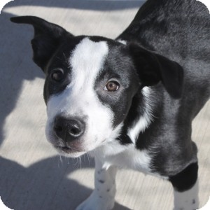 Border Collie Mix Puppy for adoption in Naperville, Illinois - Charlie