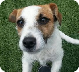 Jack Russell Terrier Puppy for adoption in Dallas/Ft. Worth, Texas - Mike in Dallas