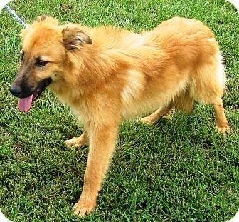 Sheltie, Shetland Sheepdog/Golden Retriever Mix Dog for adoption in Oswego, Illinois - Clyde