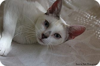 Siamese Cat for adoption in Mission Viejo, California - Pozey