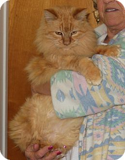 Maine Coon Cat for adoption in Mission Viejo, California - Muffin