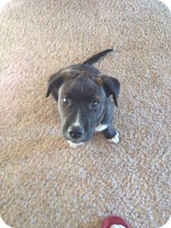 Shepherd (Unknown Type)/Labrador Retriever Mix Puppy for adoption in Wichita Falls, Texas - Wesley (Allen)