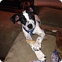 Adopt A Pet :: Mr. Peabody - Phoenixville, PA
