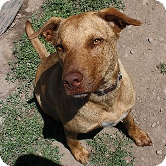Shepherd (Unknown Type)/Chesapeake Bay Retriever Mix Dog for adoption in Lyons, New York - Patti