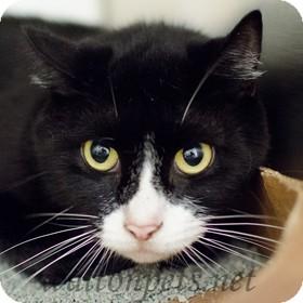 Domestic Shorthair Cat for adoption in Monroe, Georgia - MONTANA