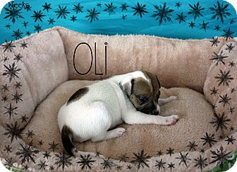 Jack Russell Terrier Mix Puppy for adoption in Ogden, Utah - Oli
