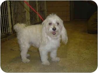 Maltese Dog for adoption in Freeport, New York - JoJo