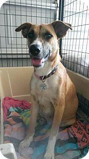 Shepherd (Unknown Type)/Retriever (Unknown Type) Mix Dog for adoption in Flower Mound, Texas - Stormy
