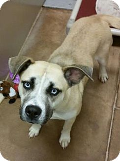 Husky Mix Dog for adoption in Parma, Ohio - Beorn