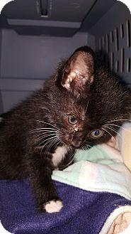 Domestic Shorthair Kitten for adoption in Albemarle, North Carolina - John Tyler