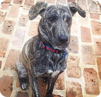 Labrador Retriever/Dutch Shepherd Mix Dog for adoption in Greenfield, Wisconsin - DEXTER