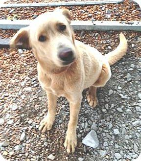 Labrador Retriever Mix Dog for adoption in Dover, Tennessee - Nicholas