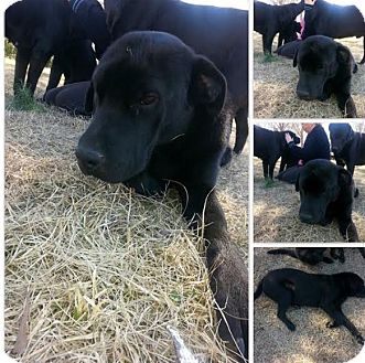 Newfoundland/Labrador Retriever Mix Puppy for adoption in Moosup, Connecticut - Polar and Neal