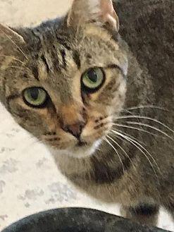Domestic Shorthair Cat for adoption in Bourbonnais, Illinois - Kanders